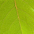 Stock Photo: Green leaf close up