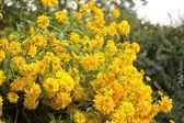 Bush with yellow flowers — Stock Photo