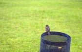 Sparrow on the trash — Stock Photo