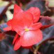 Begonia — Stock Photo #27897987