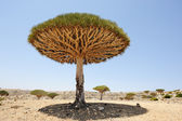 Yemen. Socotra island. Dragon tree — Stock Photo