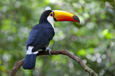 Toucan in the Jungle — Stock Photo