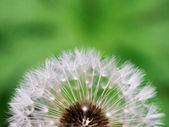 Airy white dandelion — Stock Photo