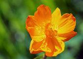 Fiori d'arancio brillante — Foto Stock