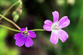Modest purple flowers — Foto Stock