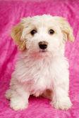 štěně seděl na růžovém pozadí — Stock fotografie