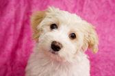 ピンクの背景に子犬 — Stock fotografie