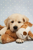 Golden Labrador Puppy — Stock Photo