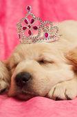 Zlatý retrívr štěně — Stock fotografie