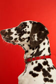 Dalmation Puppy with a red collar — Stock Photo