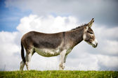 Norfolk Broads, Donkey — Stock Photo