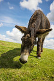 Norfolk Broads, Donkey grazing on grass in the summer time — Stock Photo