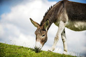 Norfolk Broads, Donkey grazing on grass — Stock Photo