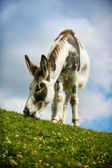 Donkey grazing on grass at Norfolk Broads — Stock Photo
