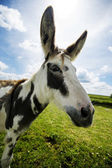 Norfolk Broads, Donkey side ciew close up — Stock Photo