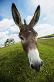 Norfolk Broads, Donkey Close up — Stock Photo