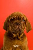 щенка бордоского де бордо — Стоковое фото