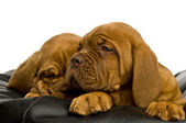 Dogue De Bordeaux puppies — Stock Photo