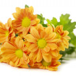 Orange spray Chrysanthemum — Stock Photo