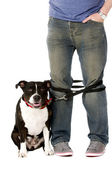 Staffordshire Bull Terrier on lead — Stock Photo