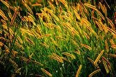 The golden seed — Stockfoto