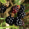 Foto Stock: Blackberries ripening