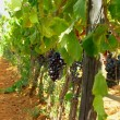 Wine grapes in Sicly, Italy — Stock Photo