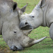 Rhino mother loves her baby - Stock Photo