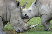 Rhino mother loves her baby — Stock Photo