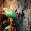 Stock Photo: Ring necked Parakeet male