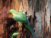 Ring necked Parakeet male — Stock Photo
