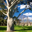 Gum tree in park — Stock Photo