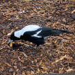 Foto de Stock  : Magpie breakfast