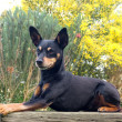 Pretty little pinscher — Stock Photo