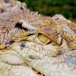Intense crocodile — Stockfoto