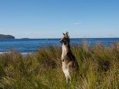 Kangaroo on watch — Stock Photo