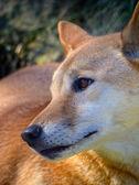 Dingo — Zdjęcie stockowe