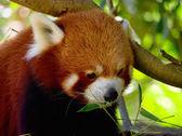 小熊猫 — 图库照片