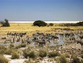 Намибия Зебра — Стоковое фото