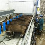 Woman milking goats ona cheese factory — Stock Photo