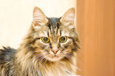 Pretty maine coon — Stock Photo
