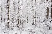 Forest covert in winter — Stock Photo