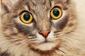只毛绒绒的猫特写 — 图库照片