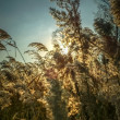 Flowering marsh grass — Stock Photo