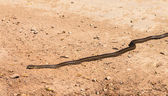 Snake on the road — Stock Photo