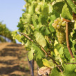 Lush, Ripe Wine Grapes on the Vine — Stock Photo #23994355