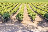 Vine Field near Napa Valley, California — Stock Photo