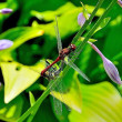 Pair of dragonflies — Stock Photo