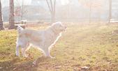 Golden retriever dog in sunlight — Stock Photo
