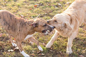 Dog playing with stick — Stock Photo